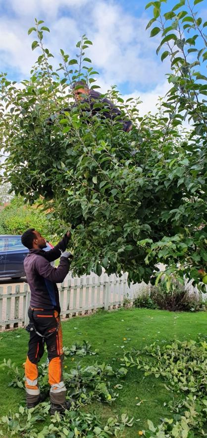 Vi jobbar alltid i team om två. här är Mats uppflugen i trädet och beskär.