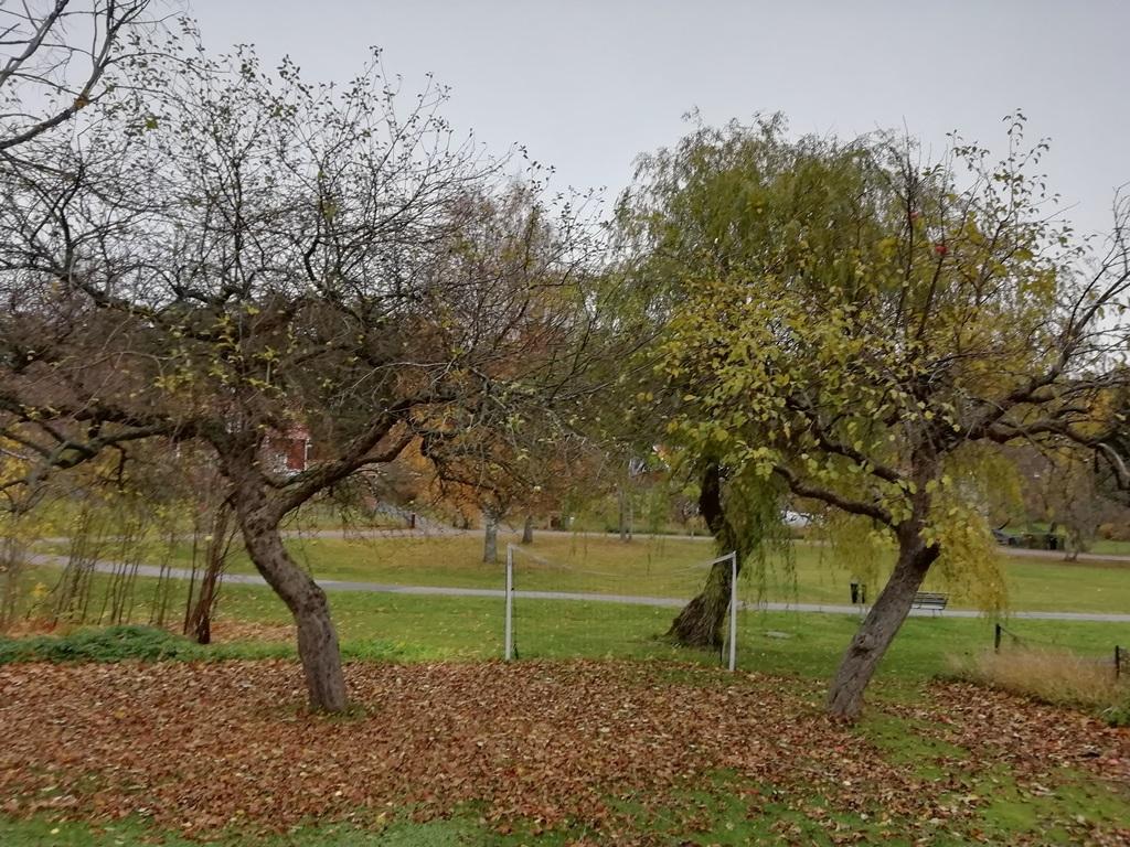 Äppelträd innan beskärningen. Framförallt det vänstra hade väldigt mycket smågrenar och var tätvuxet.