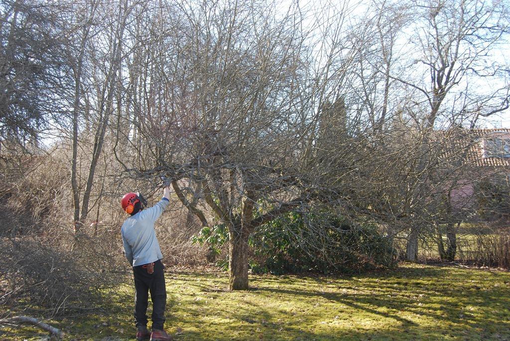 Kunden hade också ett par vildvuxna äppelträd som behövde beskäras.