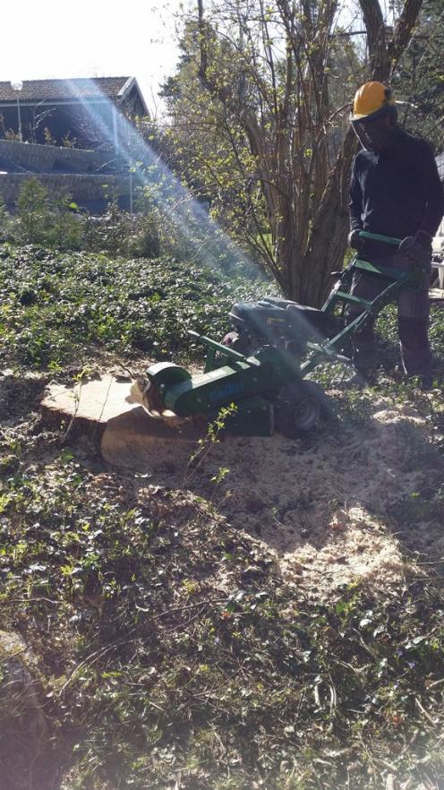 Stubbfräsning av gamla stubbar