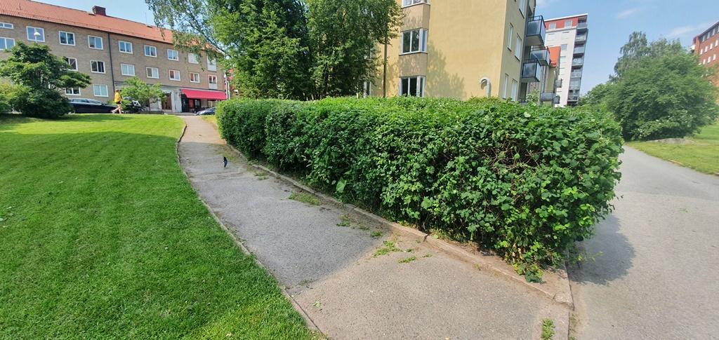 Häcken längs gångvägen klipptes. Det är ett väldigt stort och brett parti så det är svårt att nå utan stånghäcksax.