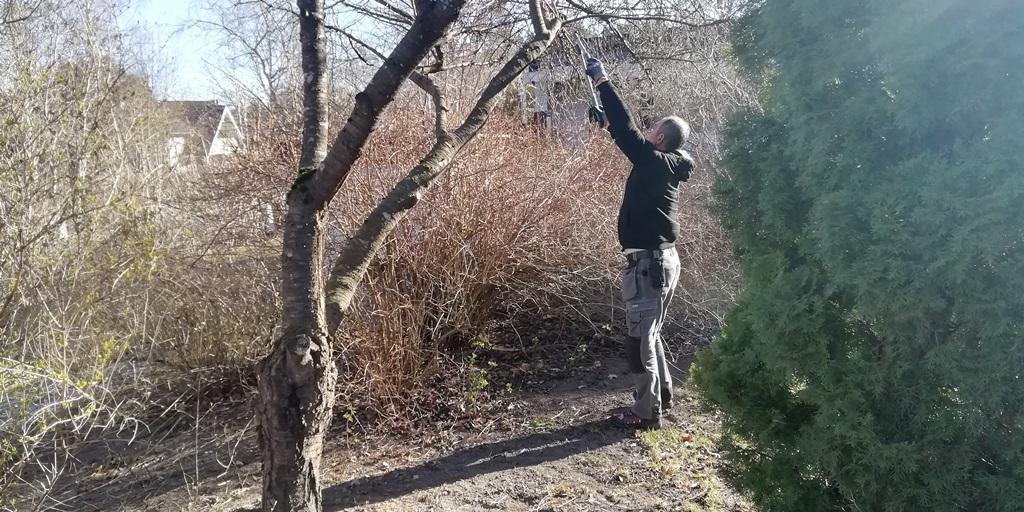 Rafi beskär döda grenar från träden