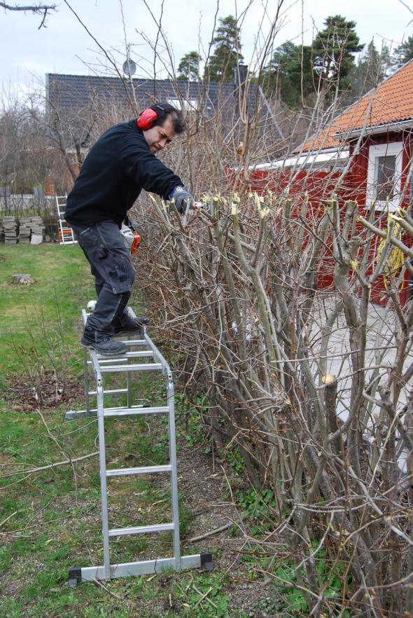 Fernando lägger snitten för att ge häcken möjlighet att växa sig tätare