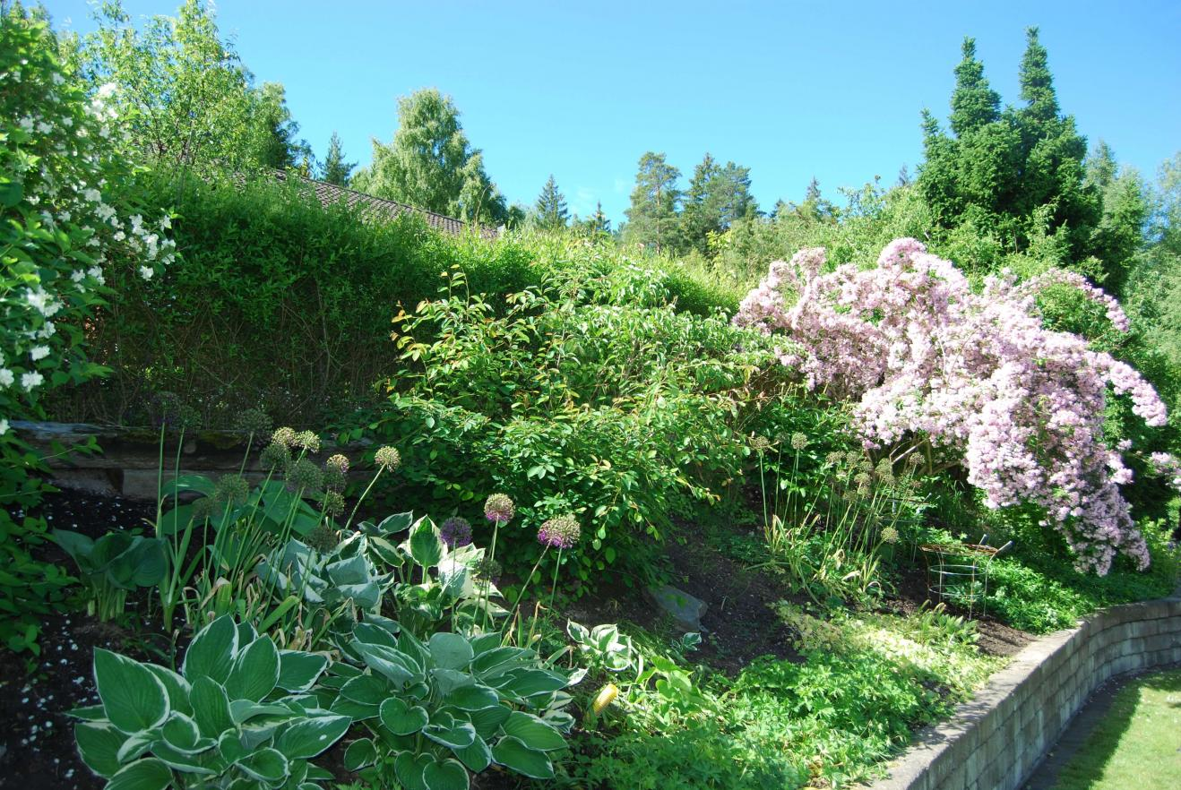 Hosta Funkia är en trevlig grön växt som är relativt lättskött och trivs med andra växter