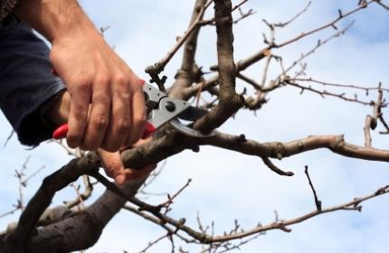 Beskärning av äppelträd, arboristen från ReGarden gör jobbet bäst