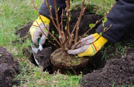 Plantera buskar. ReGardens trädgårdsarbetare hjälper gärna till