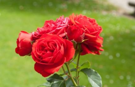 Plantera rosor, beskärning och omvårdnad, sen blommar de som aldrig förr.
